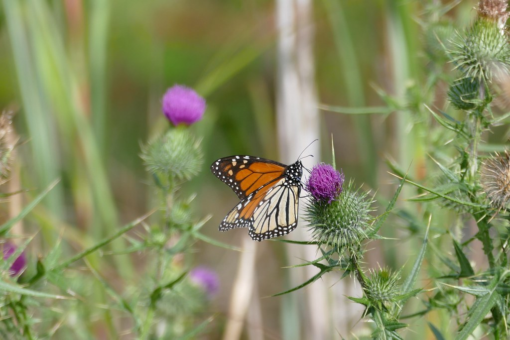 Monarch Butterfly(Danaus plexippus)