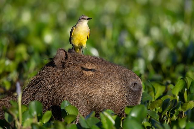 Capybara - Hydrochoerus hydrochaeris & Cattle Tyrant - Machetornis rixosa