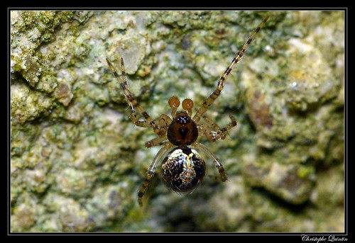 Theridion sp. groupe melanurum mâle
