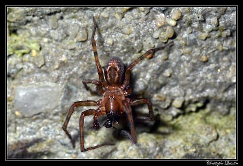 Amaurobius similis mâle