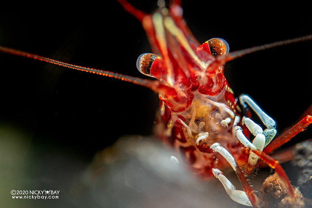 Red Line Shrimp (Caridina striata) - PC180616