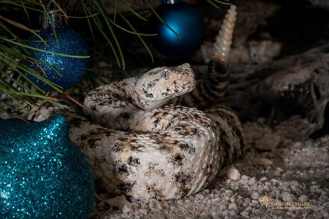 _O6A1654 Merry Christmas!  ©Dancing Snake Nature Photography