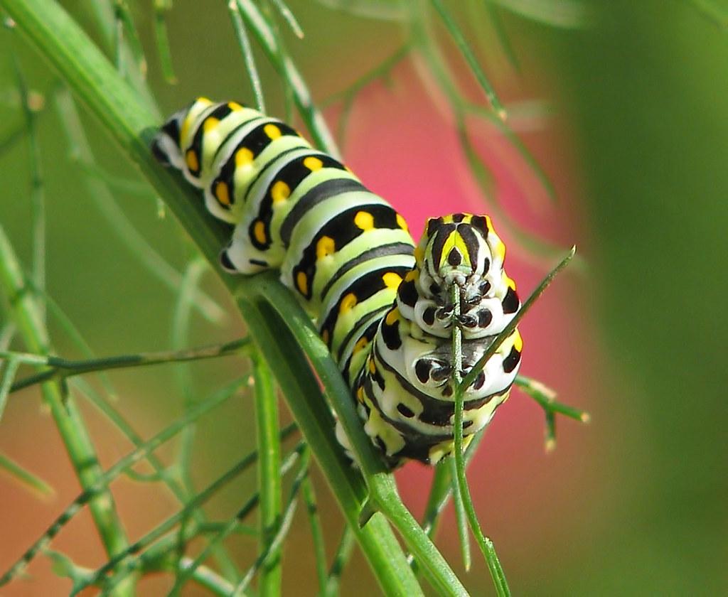12 Days of Christmas Butterflies & Dragonflies:  #11 New life - Black swallowtail caterpillar in fennel