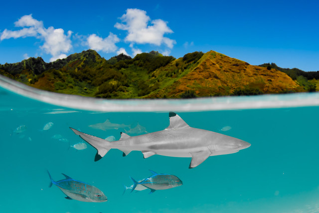 Where The Wild Things Live: Black-tip reef shark, French Polynesia