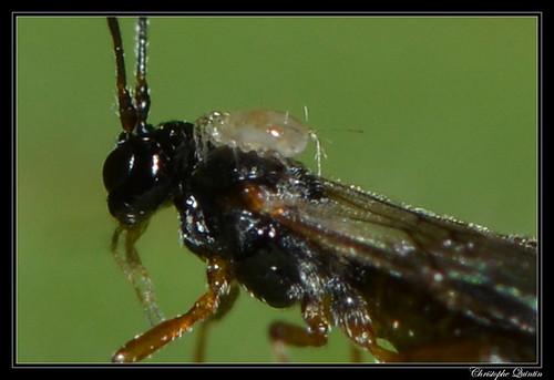 Astigmata sur Braconidae