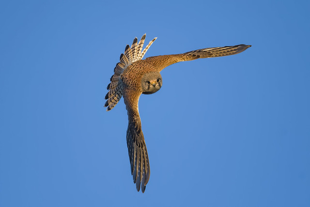 Kestrel In Flight Dec 2020