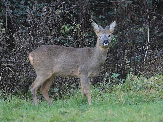 Roe Buck - Sporting New Antler Growth!