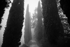 Cipresses, on the way to Castle of Romena, Casentino, Tuscany