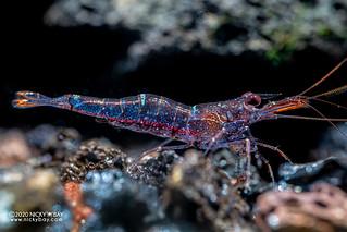 Mini Blue Sulawesi Shrimp (Caridina loehae) - PC241136