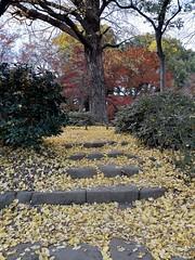 せっかくの黄葉の絨毯が、日陰で色あせてしまった失敗作例