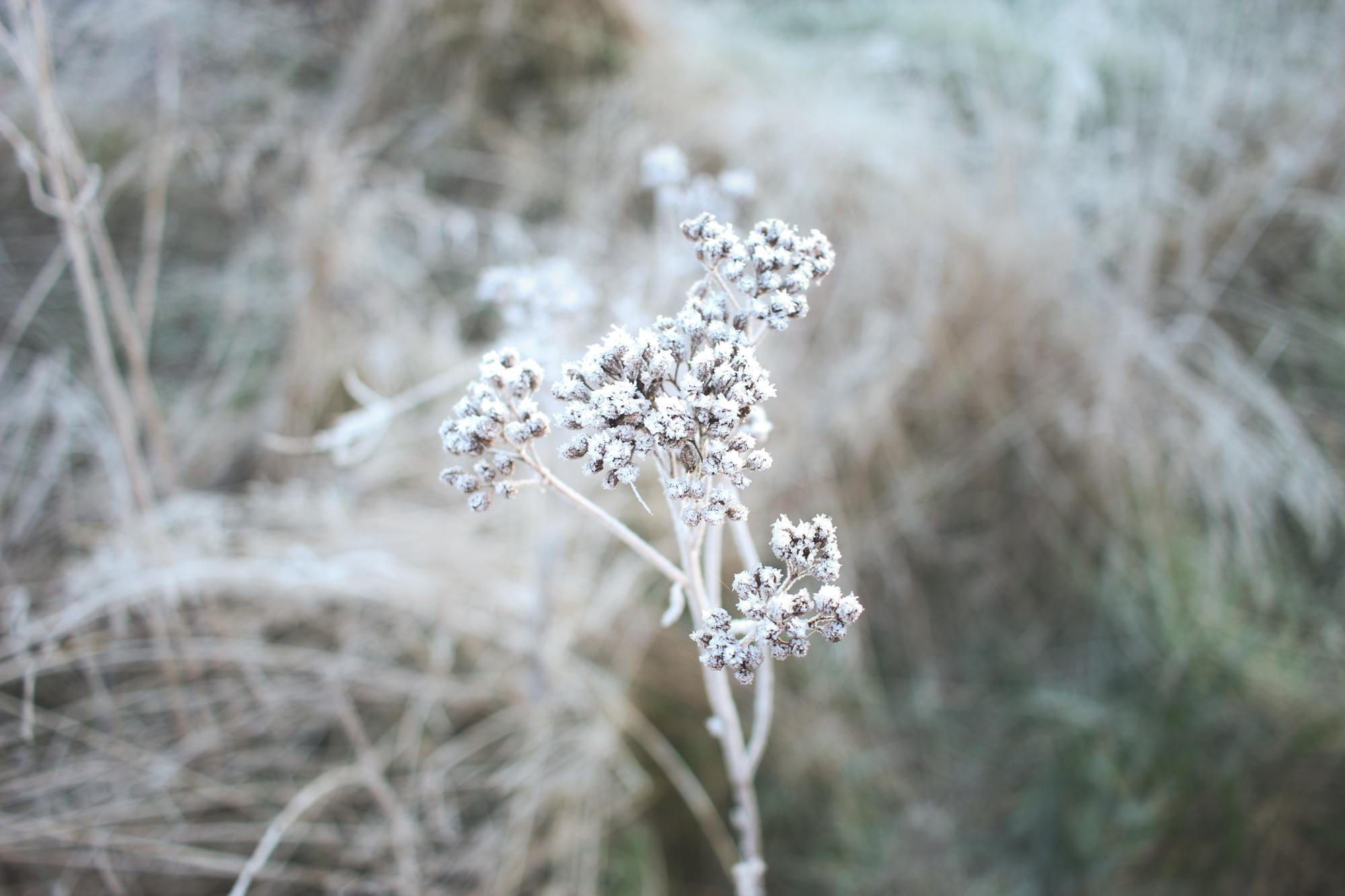 Winter Frost on Flowers