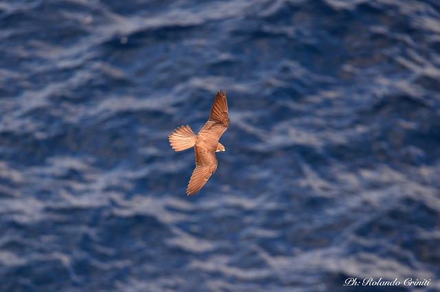 Falco della regina _025