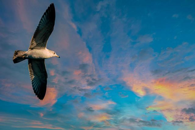 Ring-billed Gull (Larus delawarensis)