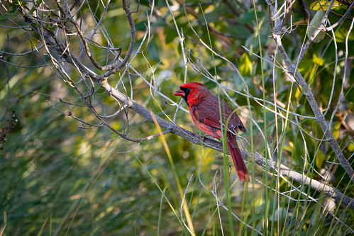 Male Cardinal in the Mangroves | by Ed Rosack