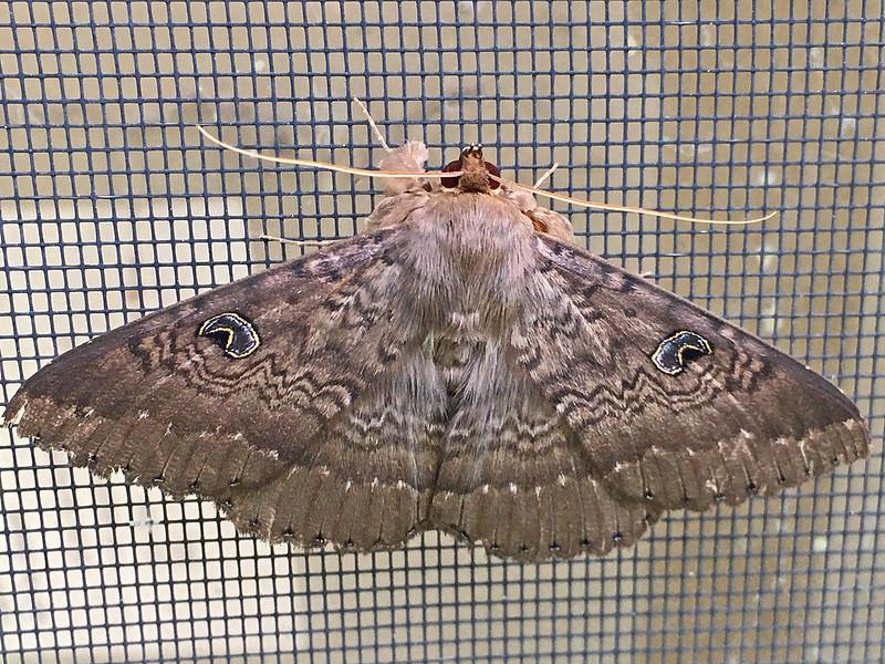 Granny Moth (1476) - Brian Pritchard