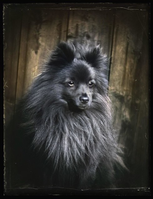 Dog, Silver Dry Gelatin Negative - 140mmx90mm Imperial Dry Plates Circa 1910s to 1920s Taken in England and Scotland_colorSAI_result
