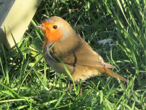 Premier cadeau du 25 décembre 2020 ce matin: Le rouge-gorge dans mon jardin. First gift this december 25, 2020: The robin in my garden.  In Explore.