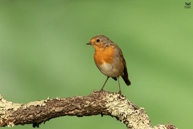 Pisco-de-peito-ruivo, European robin(Erithacus rubecula)