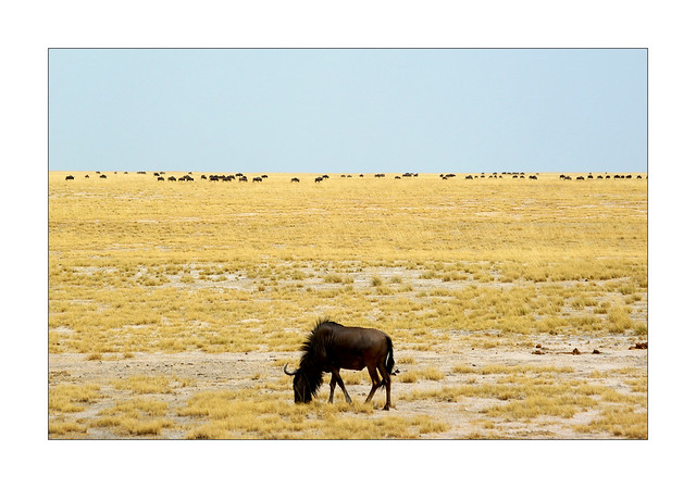 A poor lonesome gnou / Etosha - Namibie