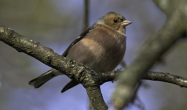a Chaffinch on a branch (M)