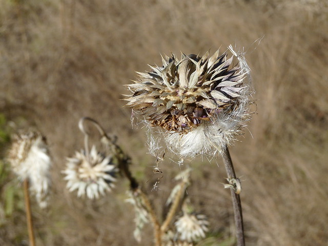 Thistle seeds ready for the wind