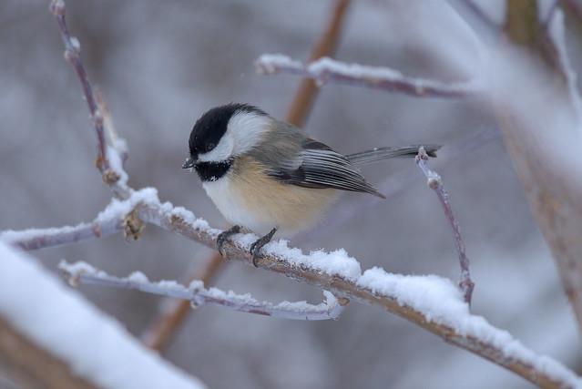 Black Capped Chickadee | Early Morning Snow Fall