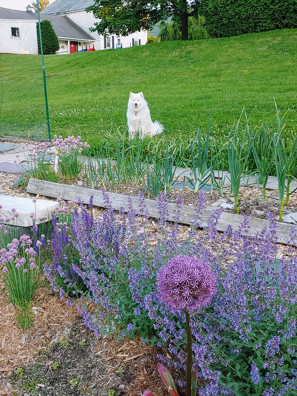 Perennial Garden in June