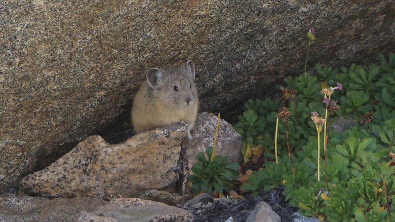 We came upon a Pika under an overhanging boulder in the talus below Pinchot Pass