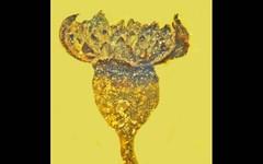Ritrovato nell'ambra un fiore sbocciato nell'epoca dei dinosauri