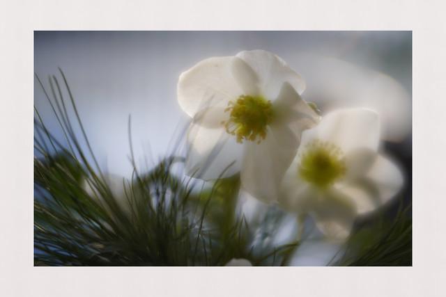 Delicate beauty [in Explore]