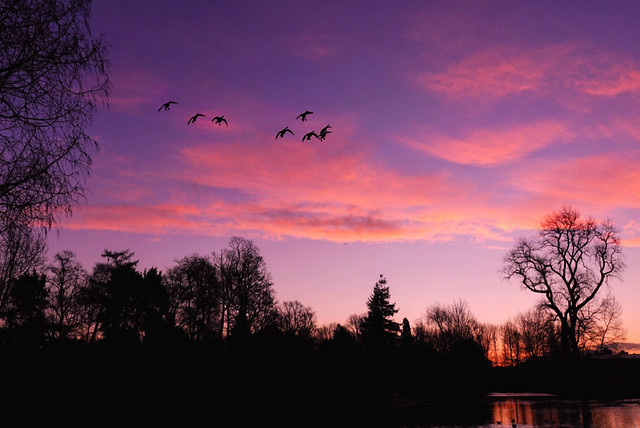 Christmas day morning.  The sun was about to rise and the temperature was below freezing.  I spotted a group of Canada Geese in the sky.. coming in to land on the icy lake.  The light was magical.. definitely worth getting up early for!