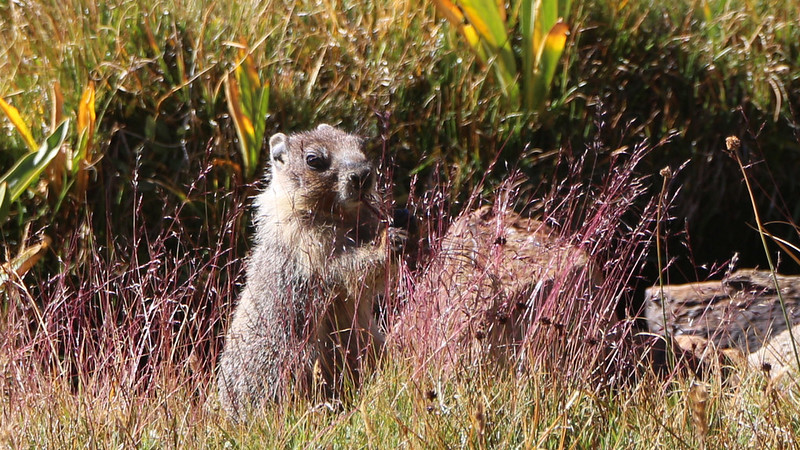 Close-up of a young marmot harvesting grass seed on the PCT near Pinchot Pass