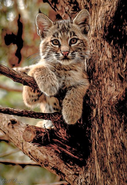 Bobcat at OKWildlife (DPainting)