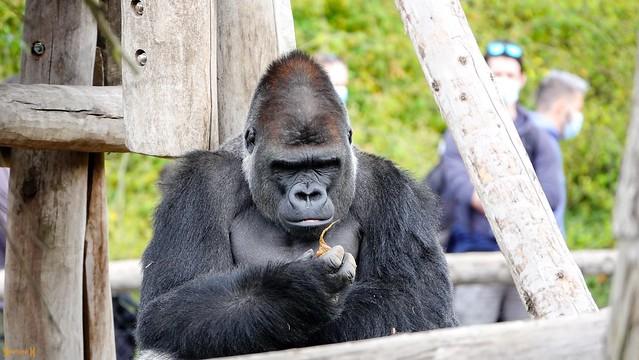 Gorille - 9225
