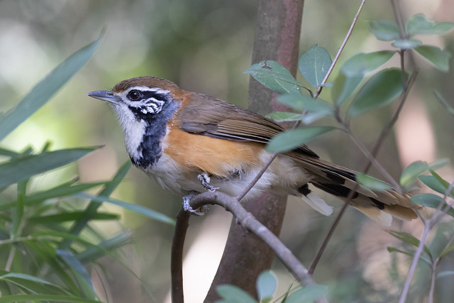 Greater Necklaced Laughingthrush:  Ianthocincla pectoralis