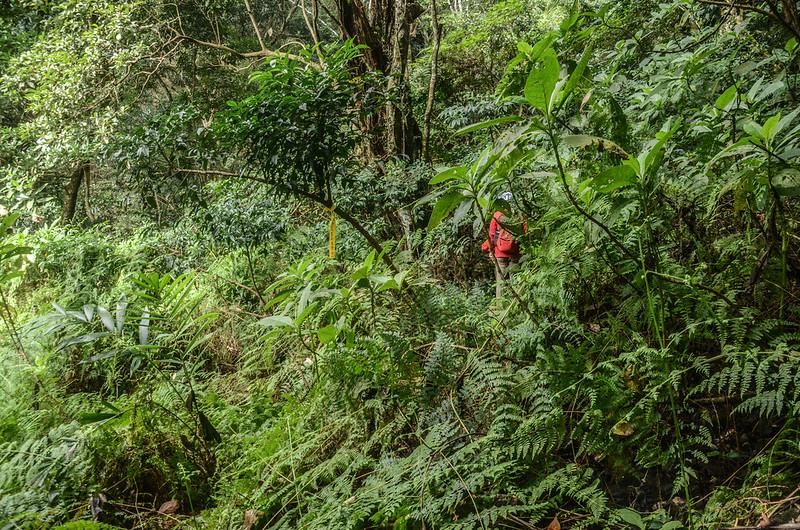 我丹山東峰腰繞段低窪蕨類區 (1)