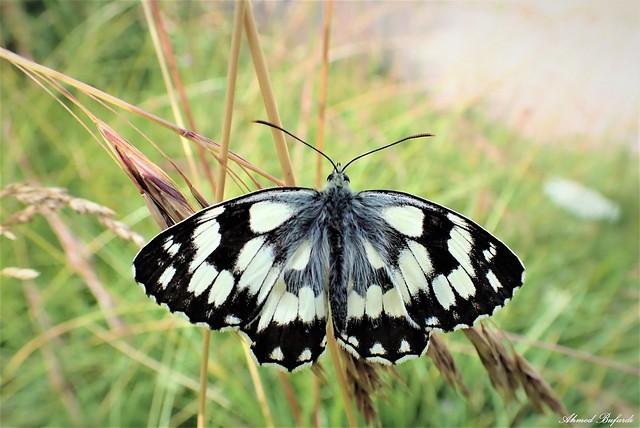 Butterfly 2032 (Melanargia galathea)
