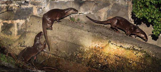 Otter activity on the Dodder