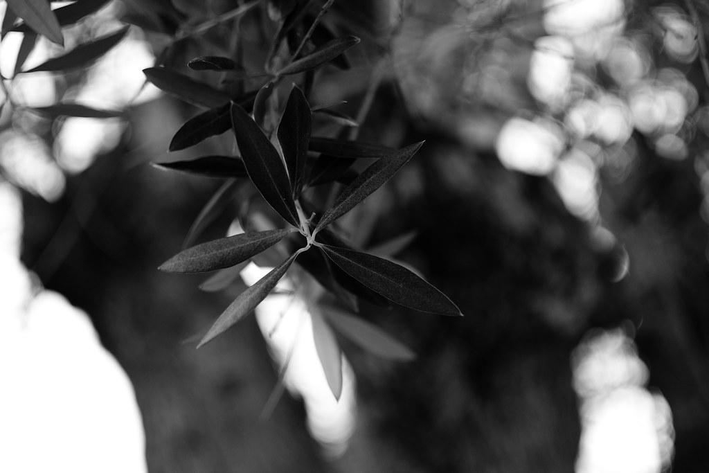 Olive tree leaves - I (Explored)