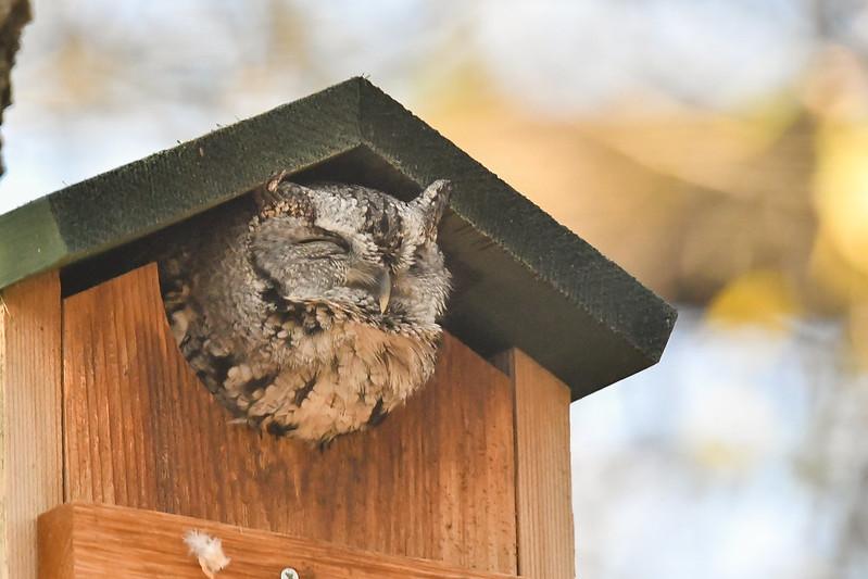 Screech Owl in an Owl Box