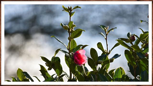 Camélia et sa 1ère fleur