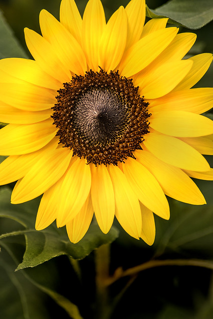 Late Summer Sunflower 3-0 F LR 8-30-20 J181