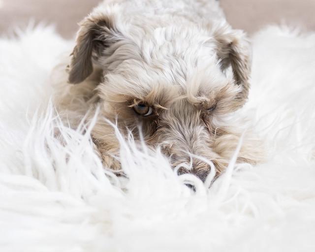 Fluffy puppy fluffy rug