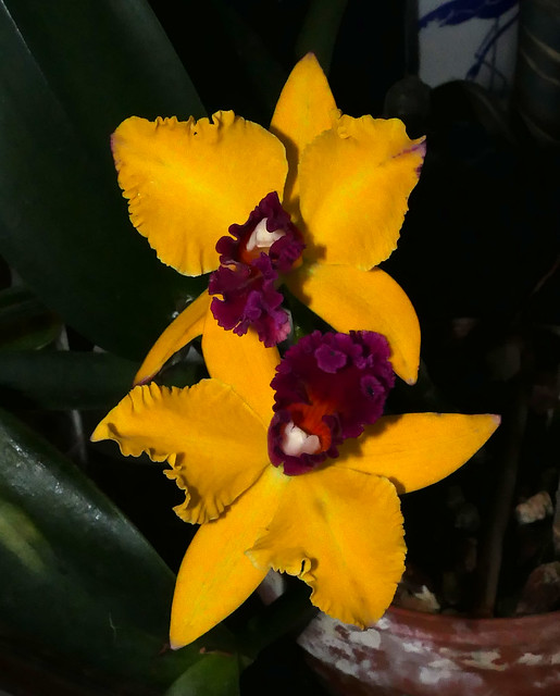 starting week seven of its first bloom, Cattleya Golden Helton 'Kudos' hybrid orchid 12-20*