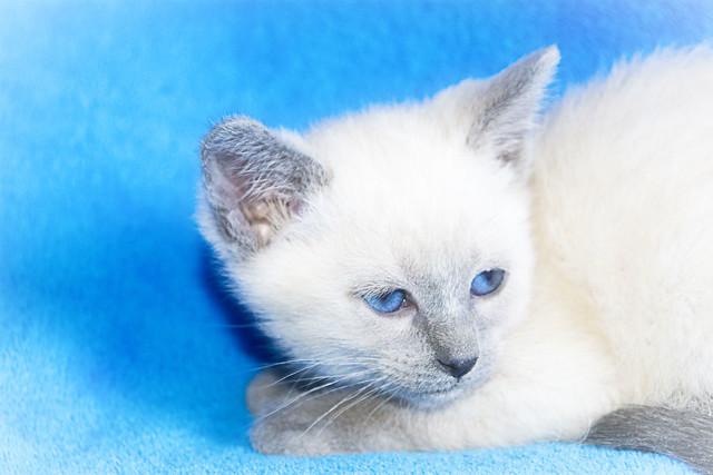 Baby Kitty Blue Female 12.26.20