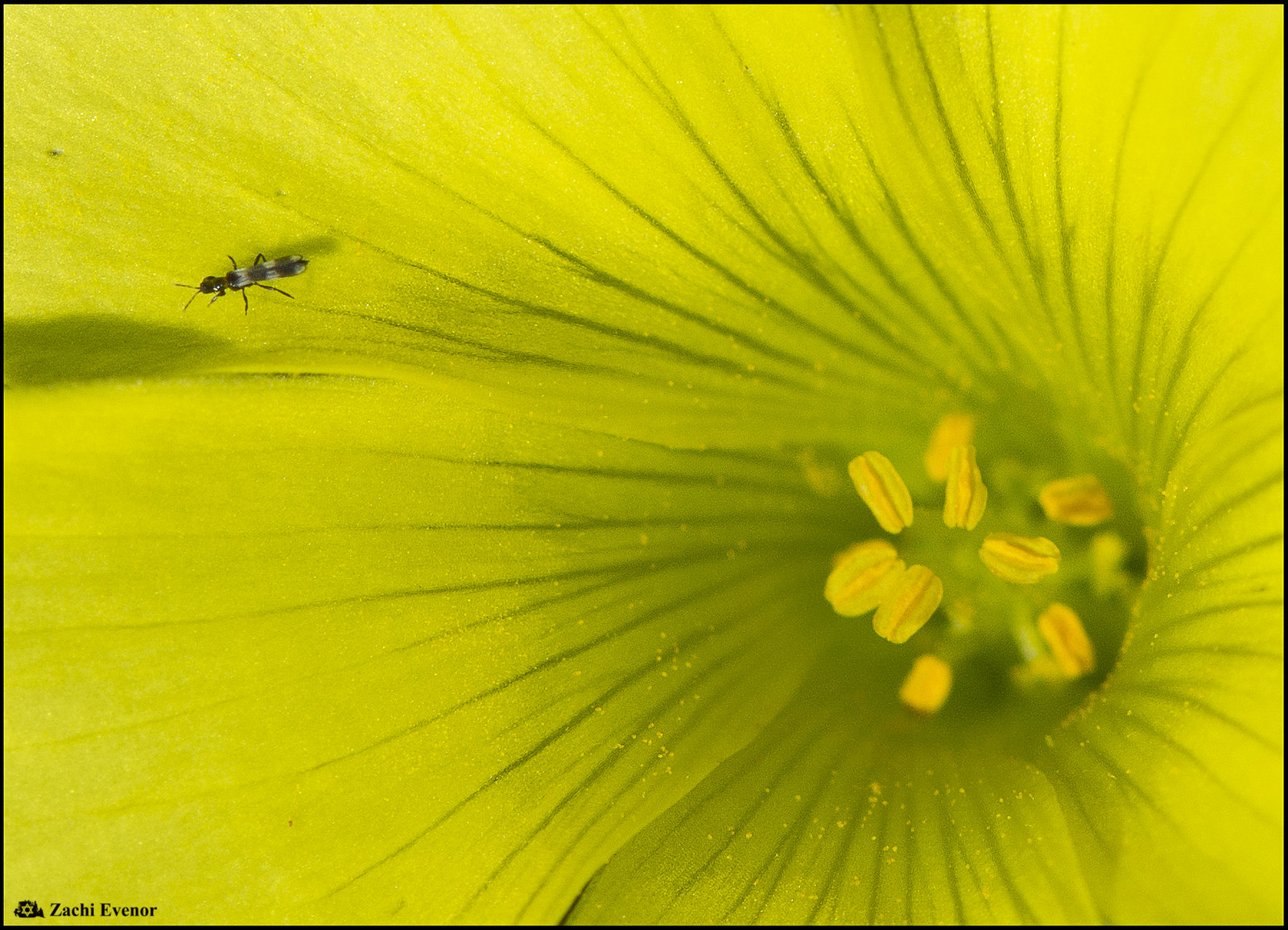 Insect in Oxalis pes-caprae - Rishon Flowers 2020-12-25 IZE-119