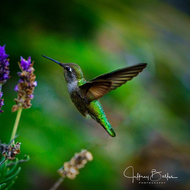 Hummingbird in flight shot with Sony A9