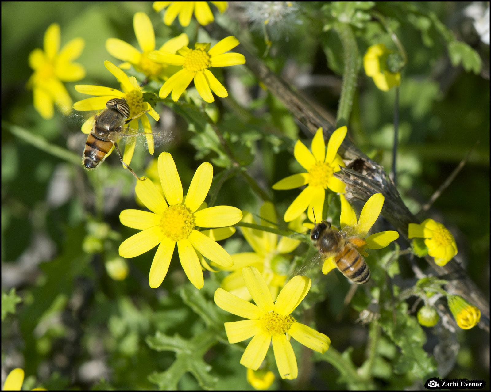 Honey Bee and Eristalinus taeniop - Rishon Flowers 2020-12-25 IZE-090