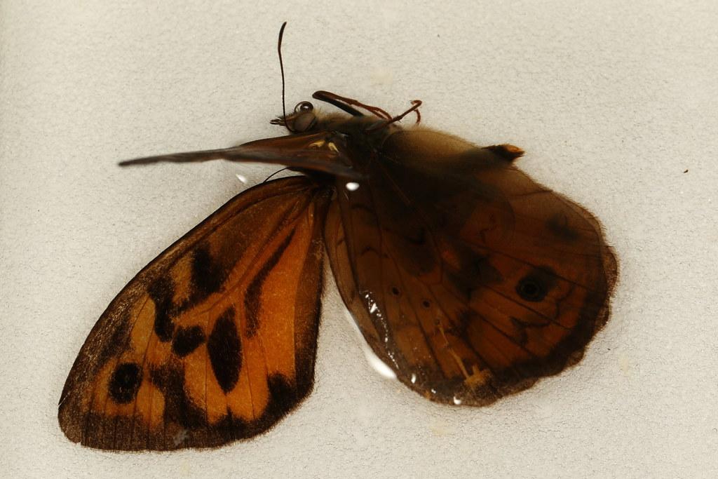 4 - Heteronympha merope (Fabricius, 1775)