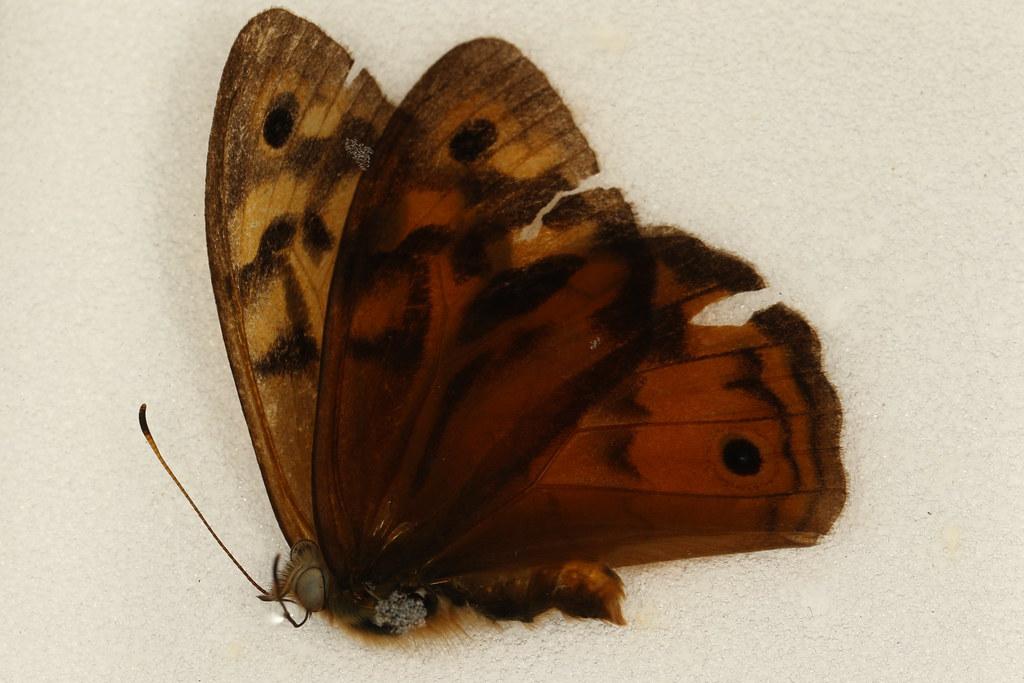5 - Heteronympha merope (Fabricius, 1775)
